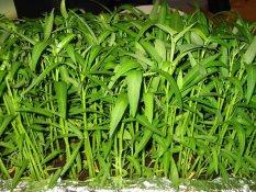 Bibit / Benih Sayur Kangkung Darat Bisa Ditanam Di pot