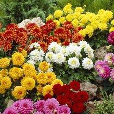 Bibit Benih Seeds Dahlia Unwins Dwarf Mix In Many Color