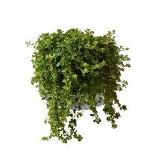 Bibit Tanaman Smokey Green Leaf
