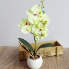 Fancy Four Butterfly Orchid Bonsai Flower color:Green - intl