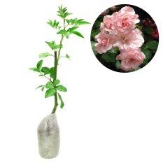Kebunbibit Tanaman Climbing Pink Rose