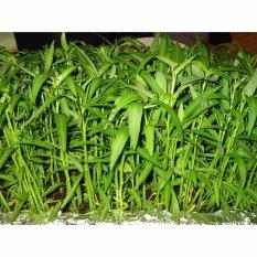 Raja Bibit - Hidroponik Benih Kangkung 20 gr