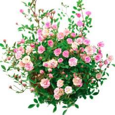 Tanaman Hias Baby Rose 2 Pcs
