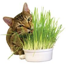 Cat Grass Growing Kit Paket Benih Rumput Kucing