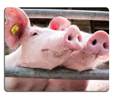 Beautiful Piglets At A Farm Mouse Pad Customized Game Mouse Mat Rectangle Mouse Mat