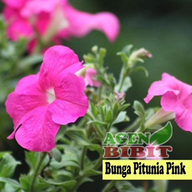 Tanaman Hias Bunga Petunia - Bibit Pohon Semi Outdoor Gantung