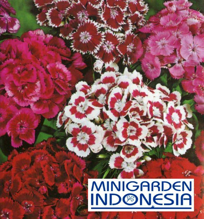 20 Benih Sweet William Mixed Colors F1 Mr fothergills bibit tanaman bunga hias