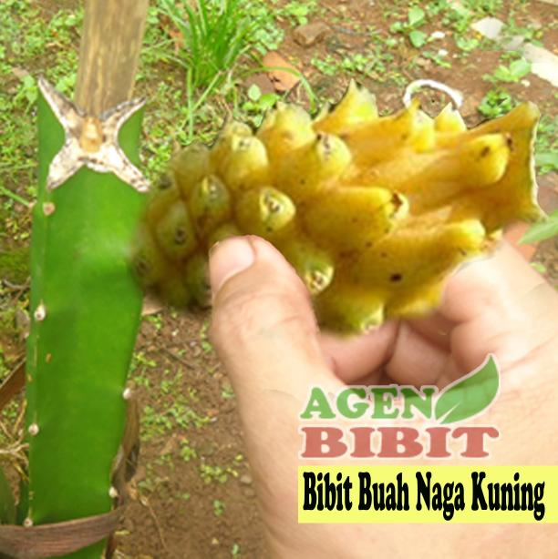 Bibit Buah Naga Kuning - Pohon Dragon Fruit Tanaman Super