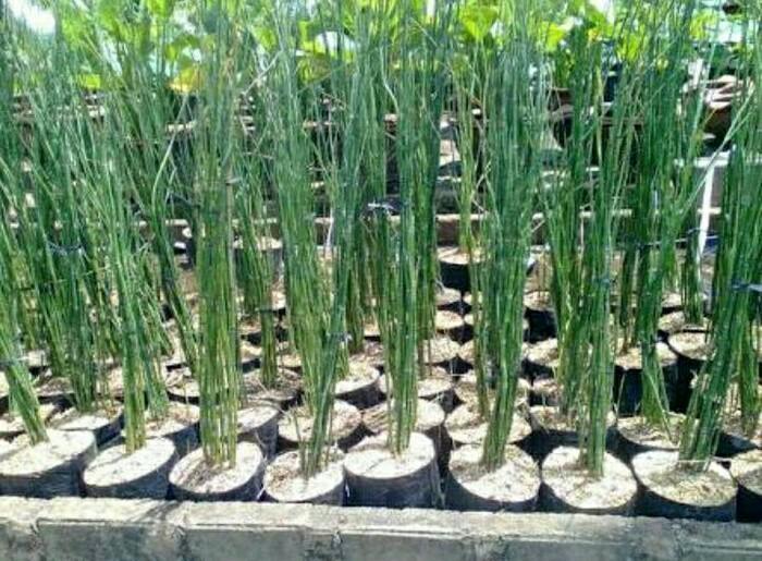 Bibit Tanaman Bambu Air