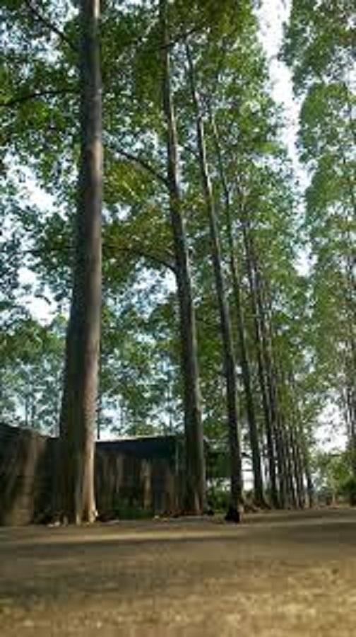 Bibit Pohon Eucalyptus Deglupta