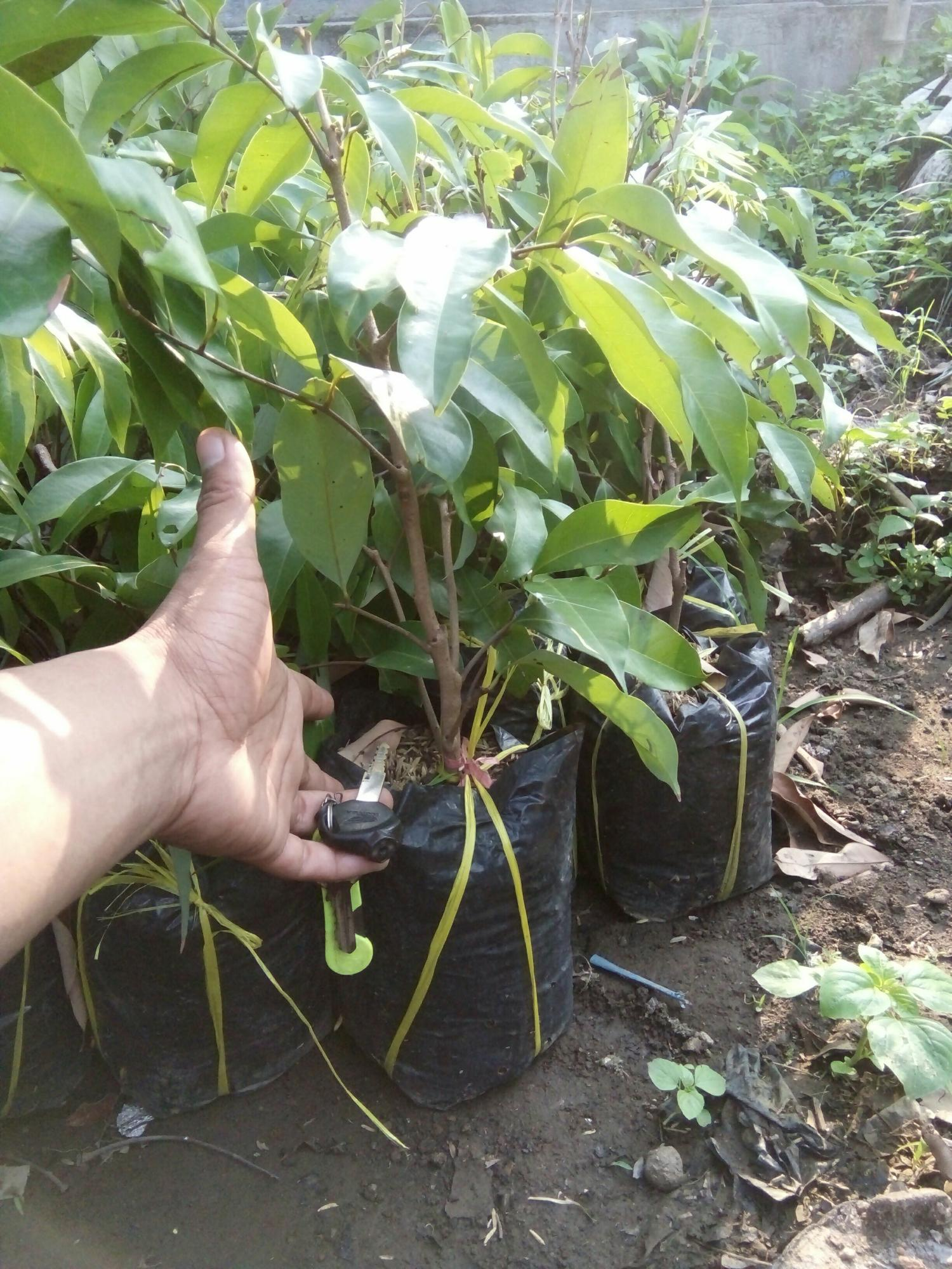 bibit tanaman leci