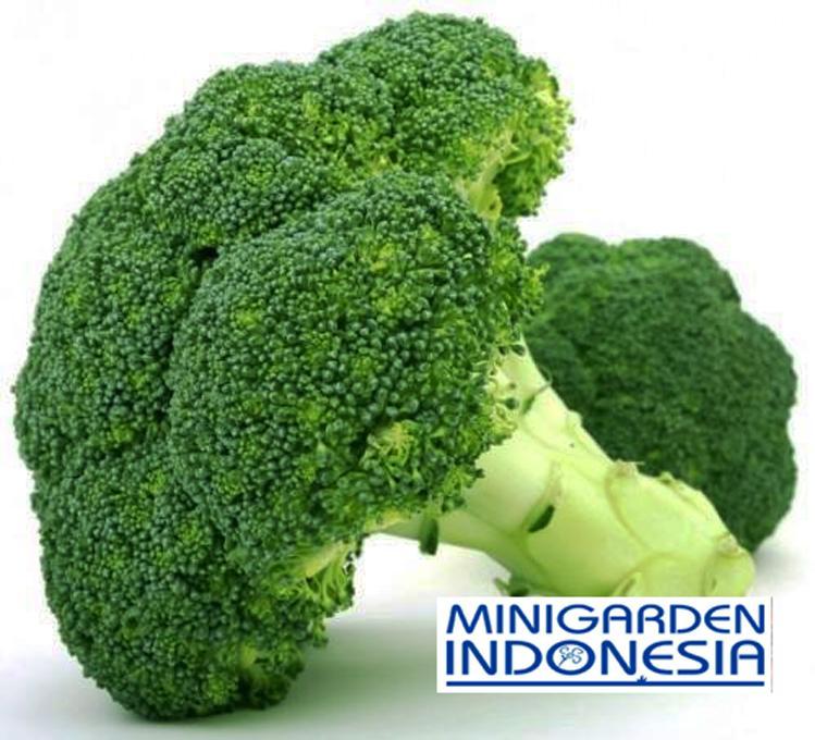 25 Benih Brokoli Hibrida GREEN SUPER F1 bibit tanaman sayur sayuran hidroponik
