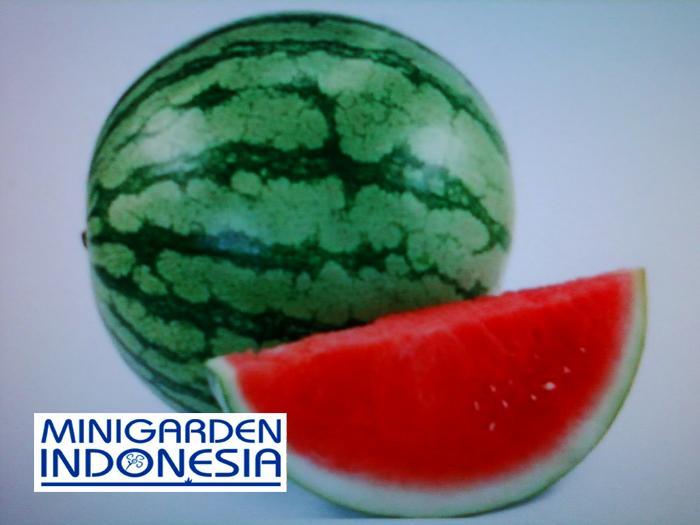 3 benih semangka amor tanpa biji F1 ( 8-12 kg / buah ) bibit tanaman buah