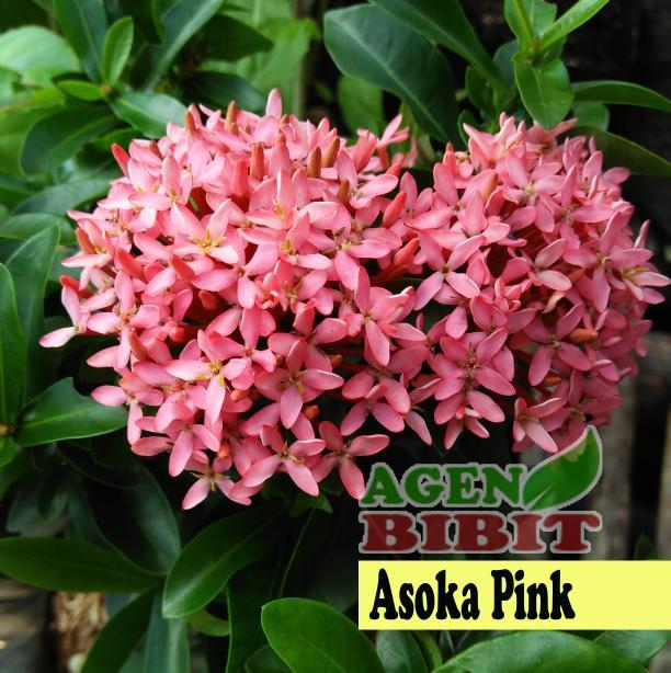 Tanaman Hias Bunga Asoka Soka Pink Saraca Indica - Pohon Bibit