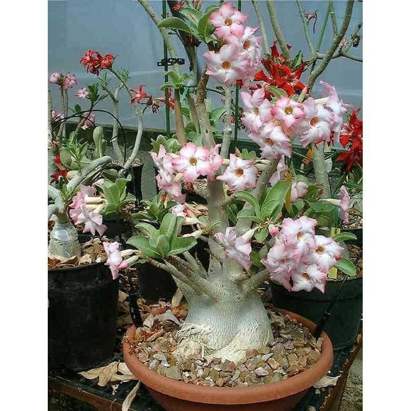 Best Seller!!! Bibit / Benih / Seeds Adenium Arabicum Cocok untuk Daerah Panas Unik Murah Minimalis