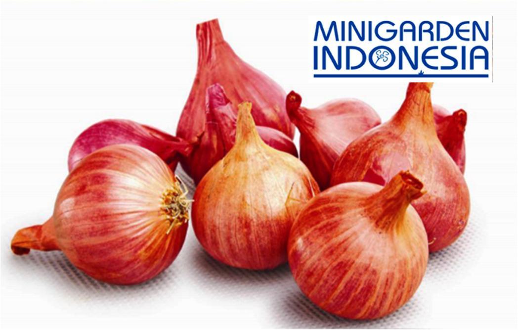 50 Benih Bawang Merah TUKTUK F1 Bibit Tanaman Sayuran