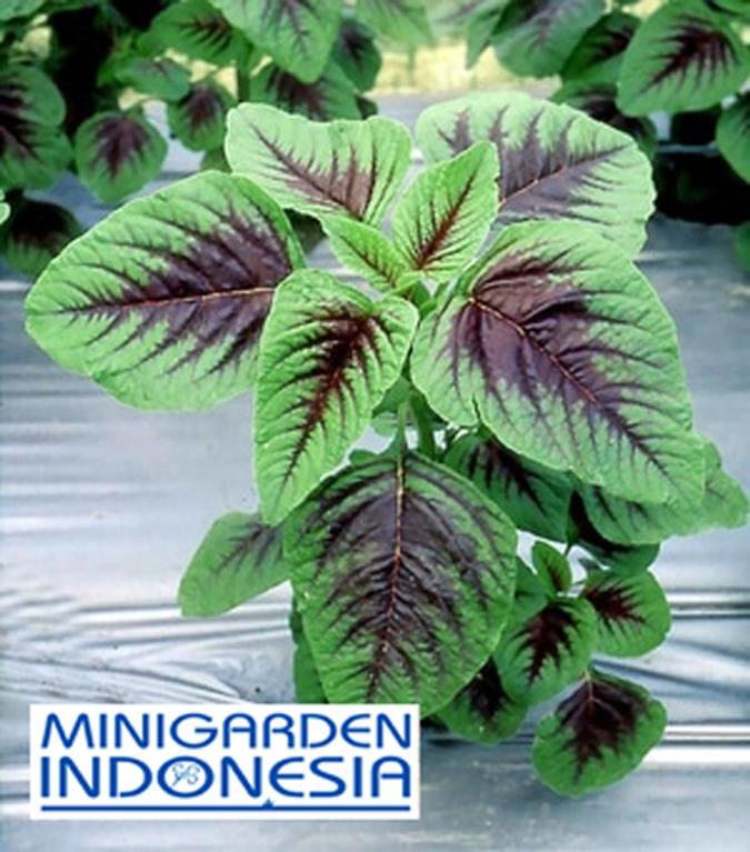 300 Benih Bayam hijau Batik Hu Hsien F1 bibit tanaman sayur sayuran hidroponik