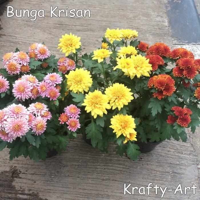 Bunga Krisan (Bibit Bunga Krisan) +Pot - 1Za570
