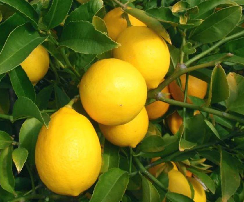 Bibit Jeruk Lemon Amerika unggul