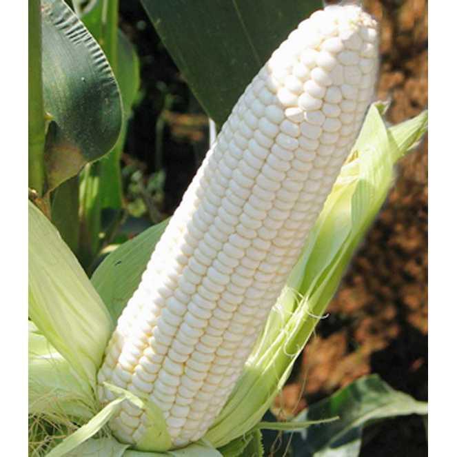 Best Seller!!! Bibit /Benih /Seed White Corn Jagung Putih Baik Untuk Kesehatan Unik Murah Minimalis