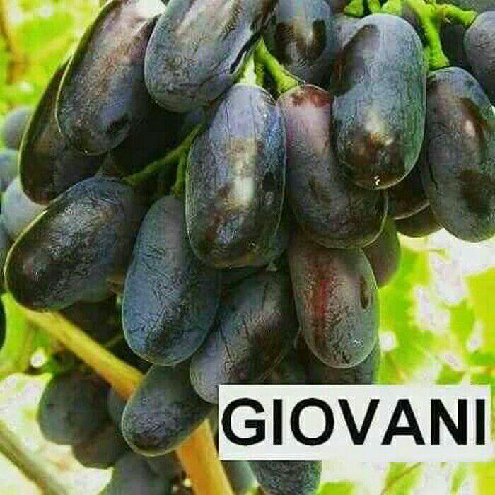 Bibit anggur impor giovani