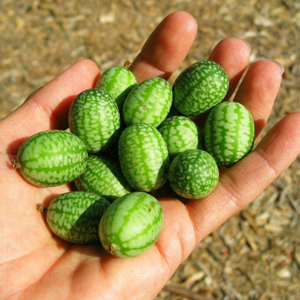 Tips Membeli Benih Anggur Rainbow Paling Baru Avedia Network Bibit Buah Johnsons Seeds Cucamelon Semangka