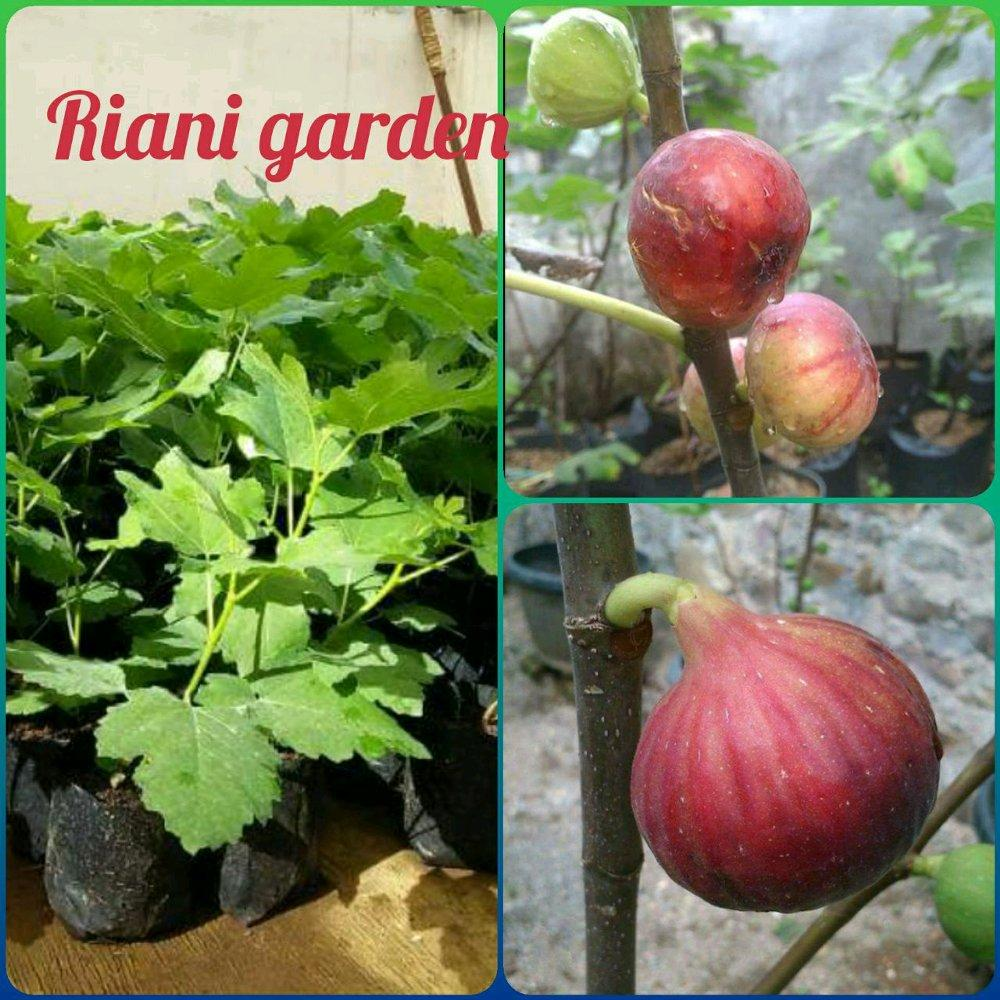 BIBIT BUAH TIN MERAH
