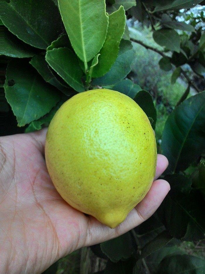 Bibit lemon impor unggul