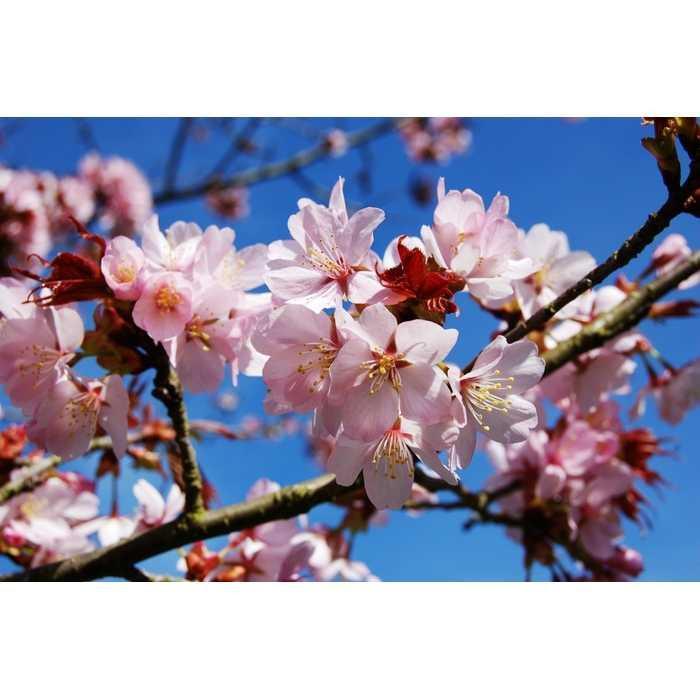 Best Seller!!! Bibit / Benih / Seed Pohon Sakura Tree Prunus Sargentii Sargent Cherry Unik Murah Minimalis