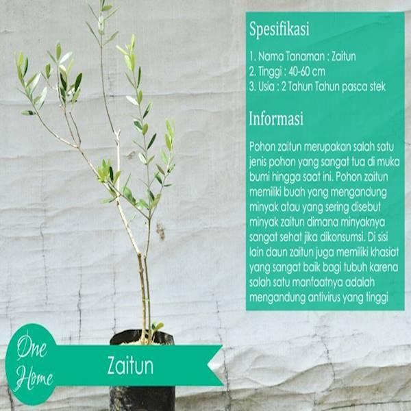 Pohon Ribuan Tahun(Zaitun)