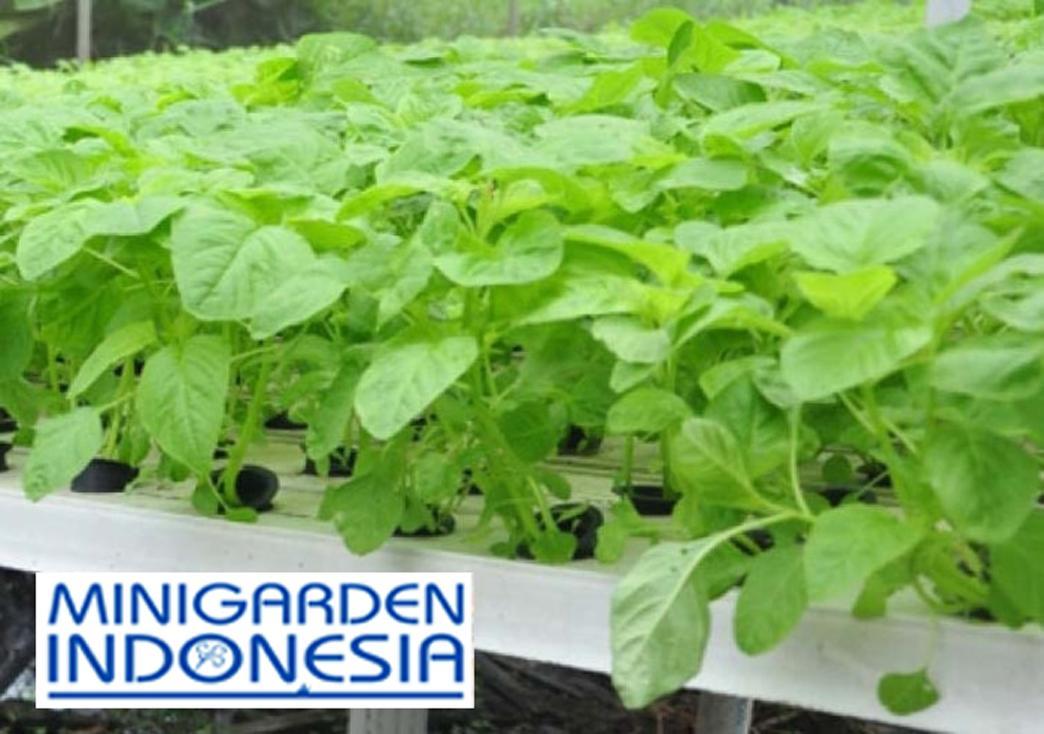 1000 Benih bayam Hijau Doly bibit tanaman sayur sayuran hidroponik