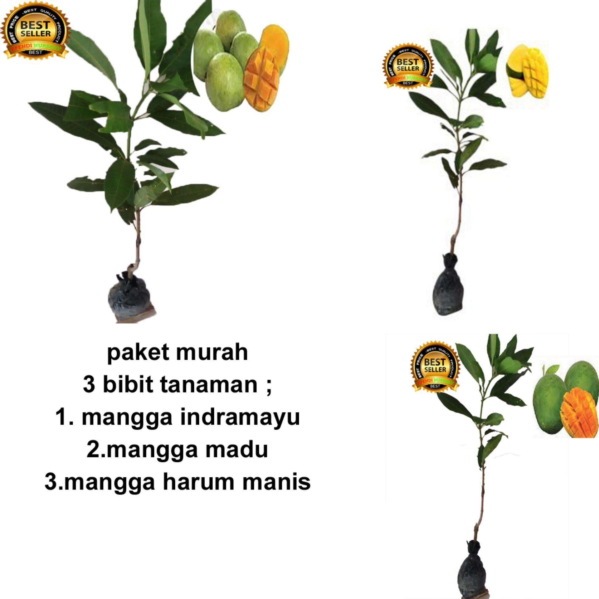 PAKET 3 BIBIT TANAMAN MANGGA INDRAMAYU-MADU -ARUM MANIS