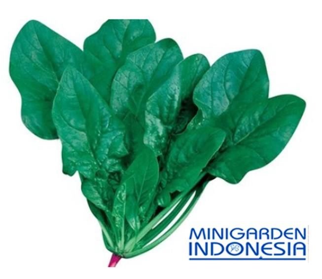 20 benih bayam hijau horenso F1 import jepang bibit tanaman sayur sayuran hidroponik