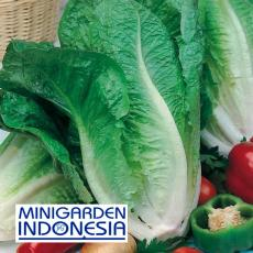 50 Benih selada HIJAU Lobjoits Green Cos F1 Mr. Fothergills Bibit tanaman Hidroponik sayur sayuran