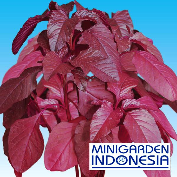 2500 Benih Bayam Merah Mira F1 bibit tanaman sayur sayuran hidroponik