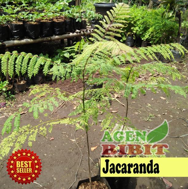 Bibit Pohon Jacaranda Tanaman Bunga Ungu Hias Jakaranda Peneduh Taman