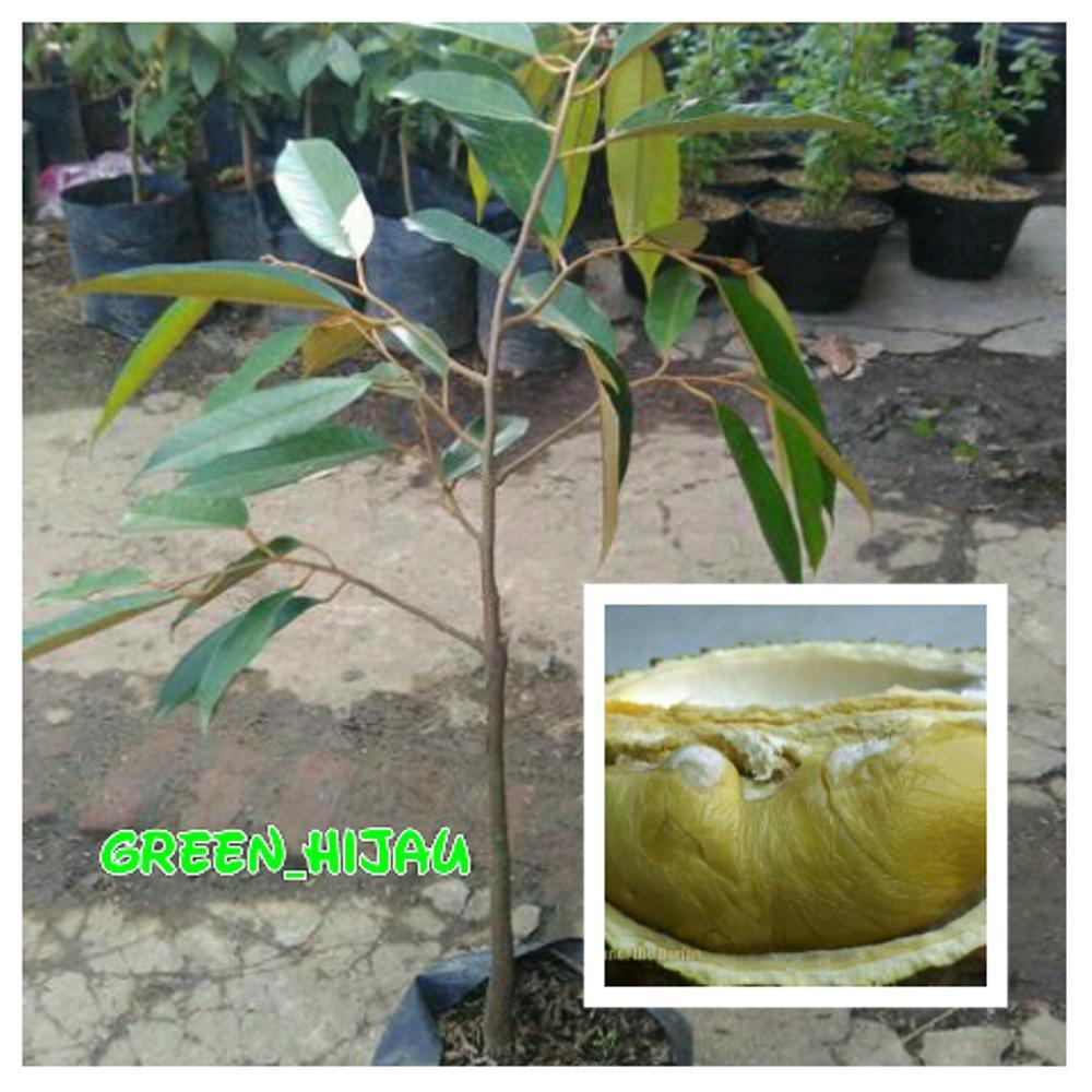 Bibit Durian D24 Malaysia
