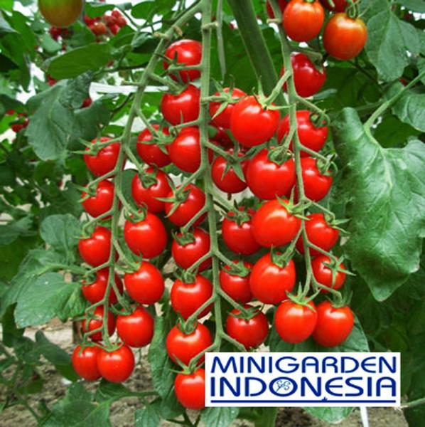 3 Benih Tomat Red ceri cherry chery Mr.Fothergill's F1 Bibit Tanaman Sayuran Buah