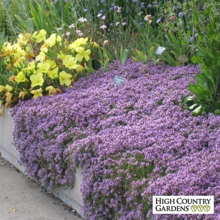 Bibit / Benih / Seeds Creeping Thyme Good For Ground Cover