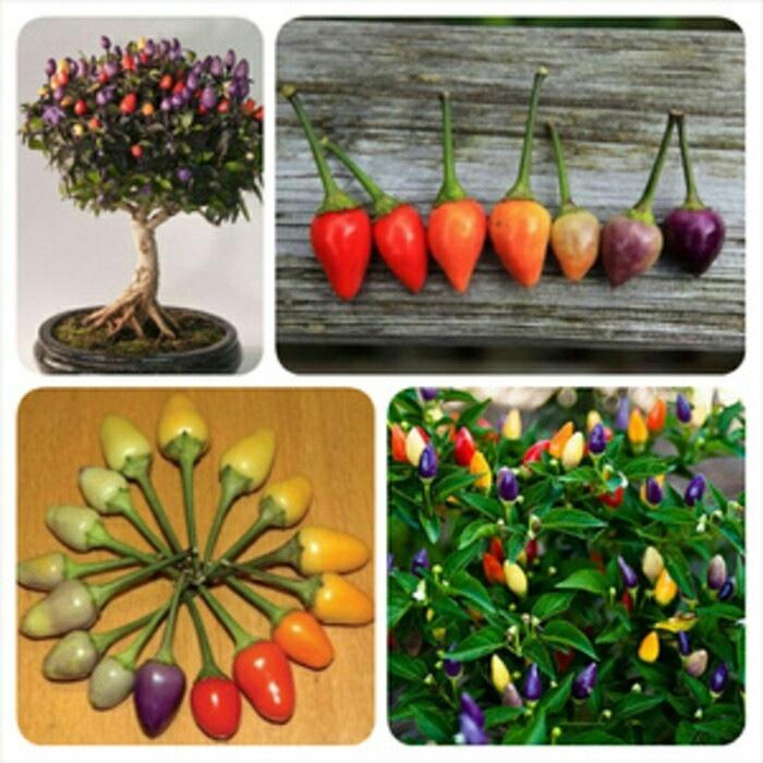 BIBIT CABE / BENIH Cabai Pelangi / Bolivian Rainbow Pepper Bell IMPORT