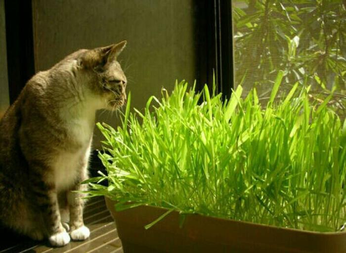 Bibit Rumput makanan Kucing / Cat Grass Seeds
