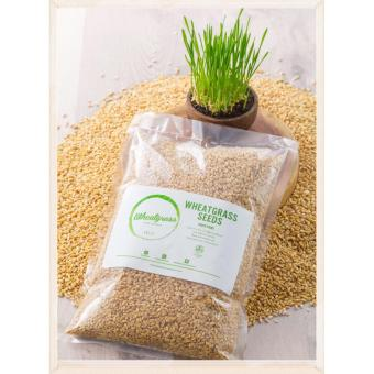 Wheatgrass Seeds/Bibit Rumput Gandum