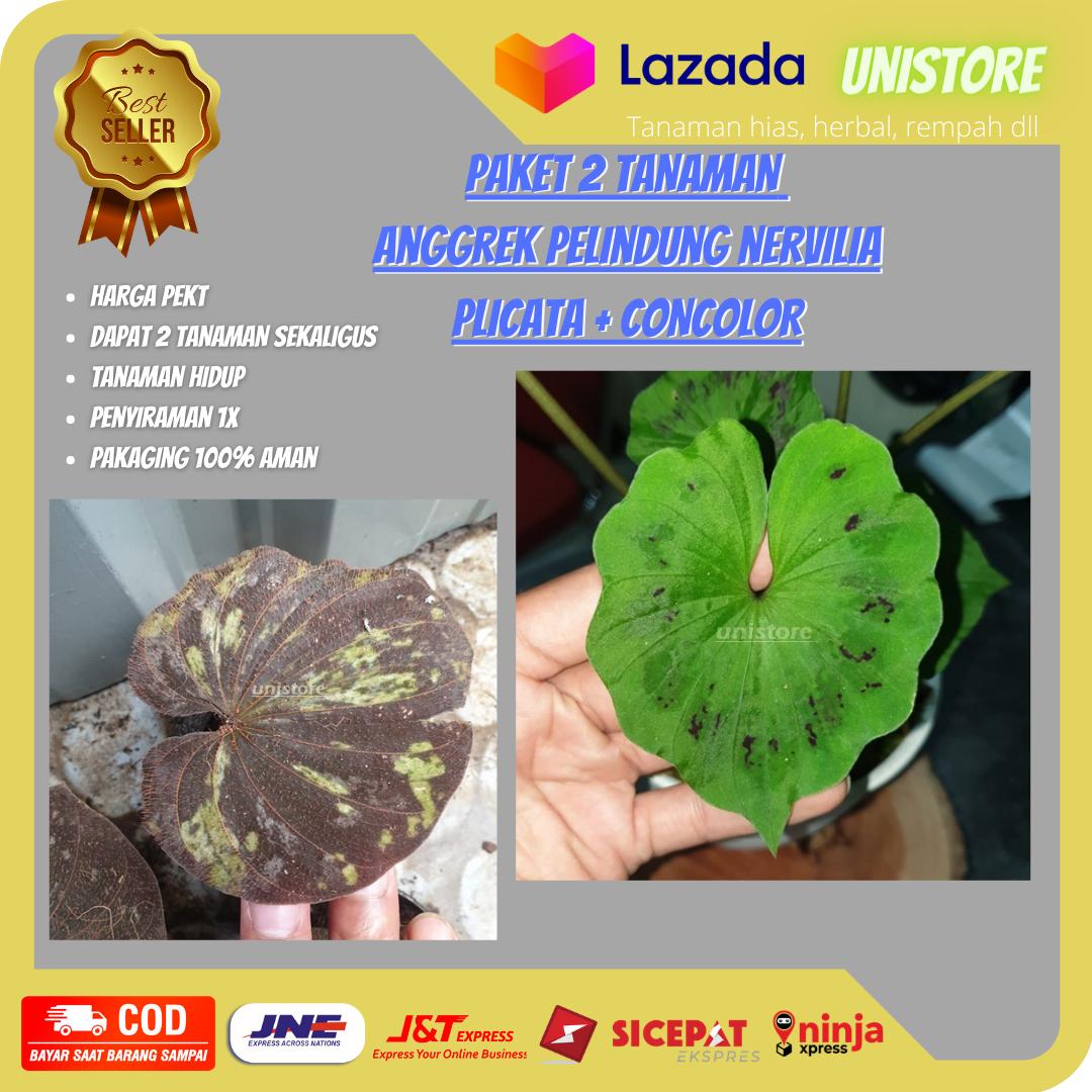 Paket 2 Anggrek Nervilia Plicata Merah Concolor Hijau Anggrek Tanah Unik Langka Limited Murah Lazada Indonesia