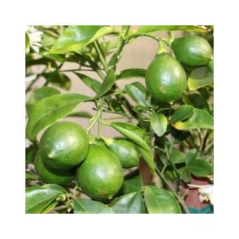Amefurashi Benih / Bibit / Biji Buah Lemon Lokal