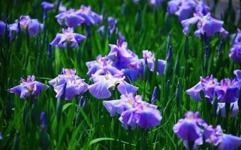 Amefurashi Benih Bunga Wild Blue Iris Flower