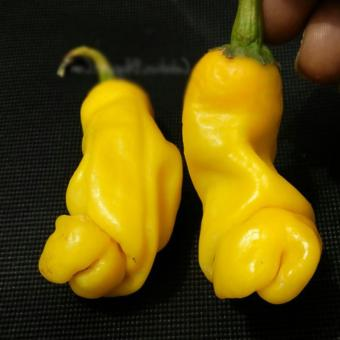 Amefurashi Benih Cabe Porno Yellow Peter Pepper