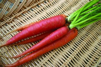 Amefurashi Benih Sayur Wortel Merah Atomic Red Carrot