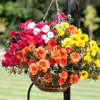 Amefurashi Bibit / Benih Bunga Moss Rose Portulaca Mix Easy To Grow