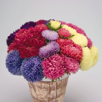 Amefurashi Bibit Benih Bunga Powder Puff Aster Mix Flower