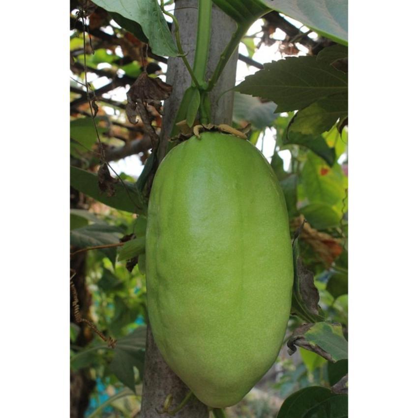 Amefurashi Bibit Benih Buah Beach Plum Fruit Daftar Harga Source · Amefurashi Bibit Benih Seeds Buah